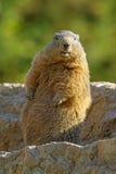 marmot Stock Afbeelding