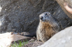 marmot Foto de Stock Royalty Free