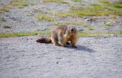 marmot Foto de Stock