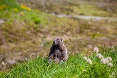 Marmot Royalty Free Stock Photography