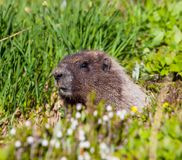 Marmot royalty free stock images