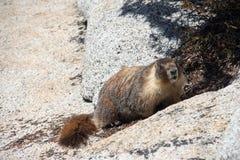 marmot Fotografia de Stock