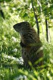 Marmot. Watch on the grass stock images