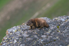 marmot Fotos de Stock Royalty Free