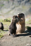 marmot Arkivfoton