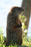Marmot 6. Marmot watch on the grass Stock Photo