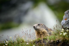 marmot Stockfotografie