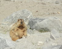 Marmot-1 Lizenzfreie Stockfotos