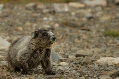marmot Стоковые Изображения