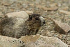 marmot Стоковая Фотография