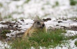 Marmot. In a snowy lawn in Italian Alps stock image