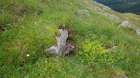 marmot Stockfotos