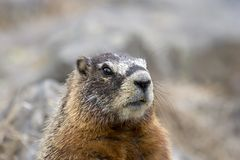 Marmot. In yellowstone national park - yellow bellied , commonly referred to as a rockchuck or ground squirrel Stock Photography