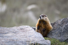 Free Marmot Royalty Free Stock Images - 8759099