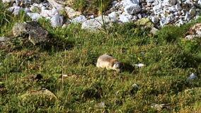 marmot stock video