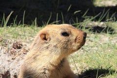 Marmot-2 Imagem de Stock