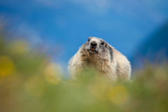 Marmot Stock Foto