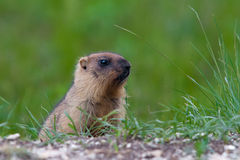 Marmot against a green grass Royalty Free Stock Images