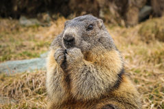 Marmot in Alpen Stock Foto