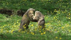 Marmot alpin, marmota de marmota, adultes jouant ou combattant, Frances, clips vidéos