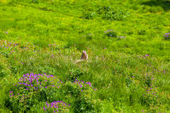 Marmot in an alpine meadow Stock Images