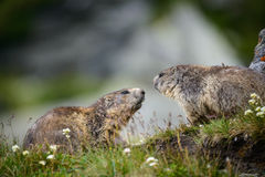Marmot. Alpine Marmot  in nature ,Hohe Tauern,Austria Stock Photography