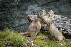 Marmot. Alpine Marmot  in nature ,Hohe Tauern,Austria Royalty Free Stock Photos