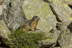 Marmot alpine Royalty Free Stock Image