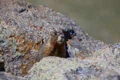 Marmot in Alpine Rocks Stock Image