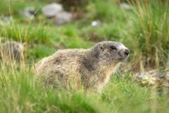 Marmot in the alps Stock Photography
