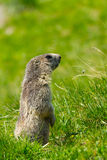 Marmot in the alps. A cute marmot in the alps royalty free stock image