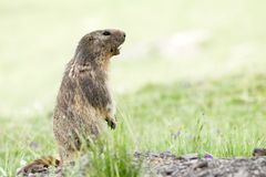 Marmot in the alps Royalty Free Stock Photography