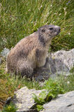Marmot in Alps Stock Photography