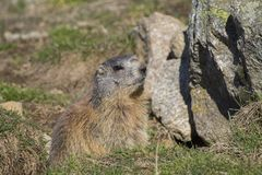 Marmot on the alps in a hole. Marmot on the alps in a green grass in a hole stock photos