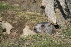 Marmot on the alps in a hole. Near a rock royalty free stock images