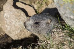 Marmot on the alps in a hole. And rocks royalty free stock photos
