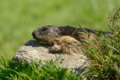 Marmot of the Alps Stock Image