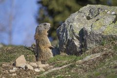 Marmot on the alps in a hole. Marmot on the alps near a hole in a green grass stock image