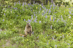 Marmot Amidst the Lupine Royalty Free Stock Images