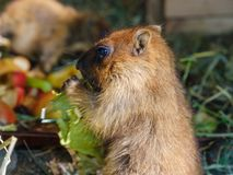 Marmot animal eating. Cabbadge, carrot and apple in nature stock photo
