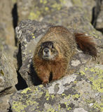 Marmot approach Stock Images