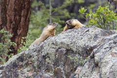 Marmot argument Royalty Free Stock Images