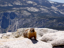 Marmot atop Half Dome, Yosemite. A hungry marmot waiting to grab someone's food at the top of Half Dome in Yosemite Stock Image