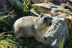 Marmot attentive - Saas Fee - landmark attraction in Switzerland Stock Photography