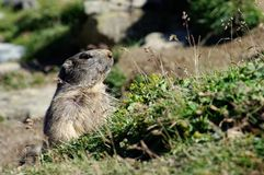 Marmot attentive - Saas Fee - landmark attraction in Switzerland. Marmot ordinary with people, near the Saas Fee - landmark attraction in Switzerland Royalty Free Stock Image