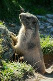 Marmot attentive - Saas Fee - landmark attraction in Switzerland. Marmot ordinary with people, near the Saas Fee - landmark attraction in Switzerland Stock Image