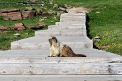 Marmot au passage du ` s de Logan Photographie stock