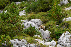 Marmot. A marmot in Austria, Tyrol in the alps (rofan mountains royalty free stock image