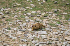 Marmot autour du secteur près du lac tso Moriri dans Ladakh, Inde Les marmottes sont de grands écureuils vivants sous la terre Photos libres de droits