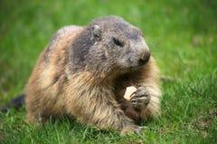Marmot avec le biscuit Photographie stock libre de droits